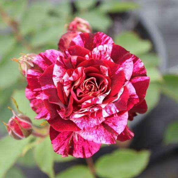 vendita rose a cespuglio profumate a carignano