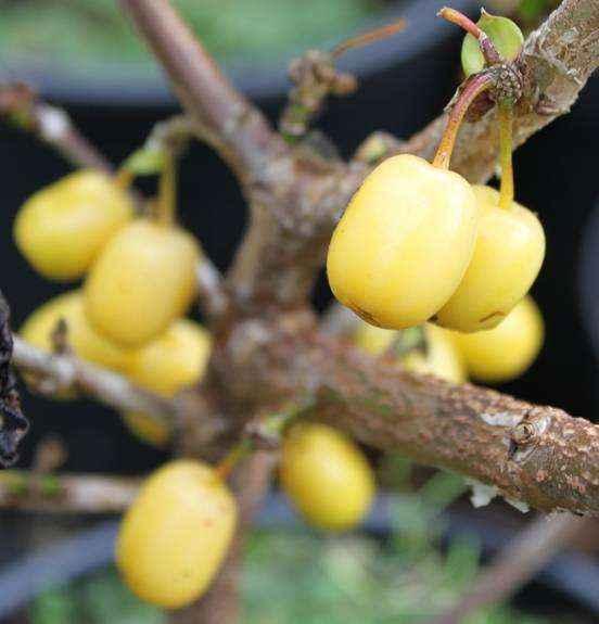 Piante Goji Vendita : Corniolo giallo vivai veimaro vivaio specializzato