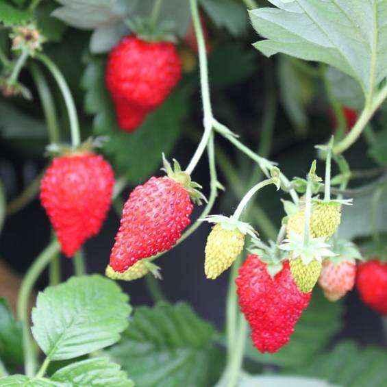 Alexandria vivai veimaro vivaio specializzato nella for Fragole piante vendita