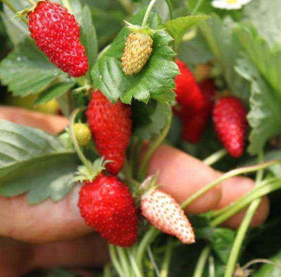 Piante Di Frutti Di Bosco : Piccina vivai veimaro vivaio specializzato nella