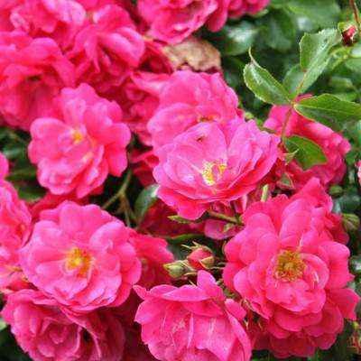 rosa-tappezante-heidetraum