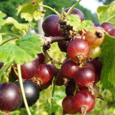 Jostaberry incrocio ribes nero uva spina vivai veimaro for Vendita piante di lamponi