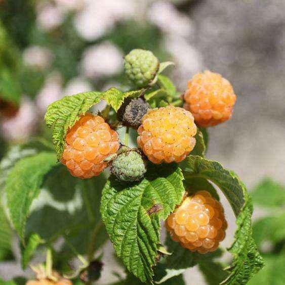 Fallgold vivai veimaro vivaio specializzato nella for Vendita piante di lamponi