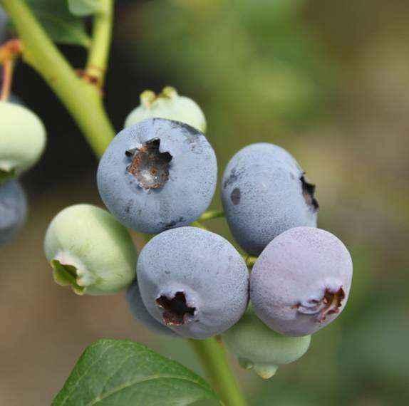 Bluetta vivai veimaro vivaio specializzato nella for Vendita piante di lamponi