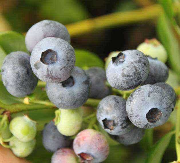 Bluejay vivai veimaro vivaio specializzato nella for Vendita piante di lamponi