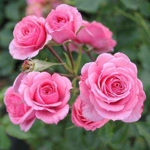 Rose cespuglio paesaggistiche Meilland