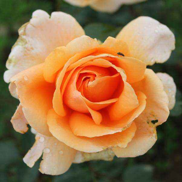 Rose cespuglio grandi fiori Meilland