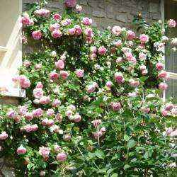 Rose rampicanti