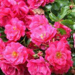 Rose coprisuolo