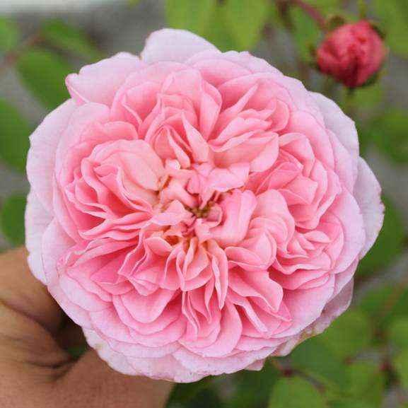Rose cespuglio Guillot