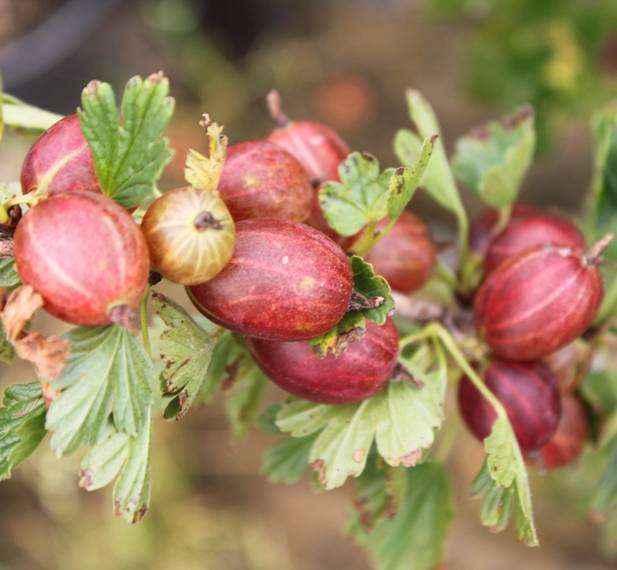 Captivator vivai veimaro vivaio specializzato nella for Vendita piante di lamponi