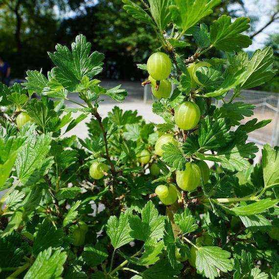 Mucurines vivai veimaro vivaio specializzato nella for Fragole piante vendita