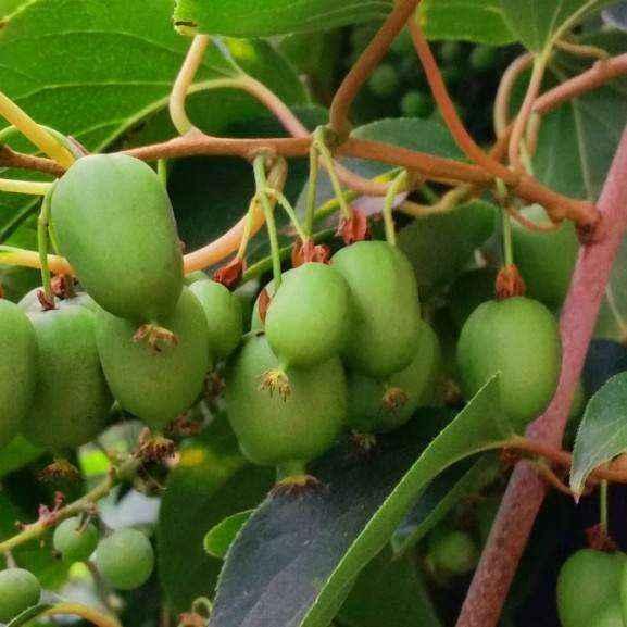Actinidia arguta jumbo vivai veimaro vivaio for Kiwi coltivazione