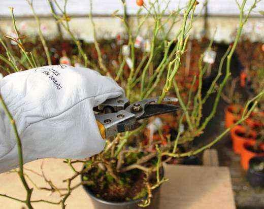 accorciamento-dellaltezza-della-pianta-5
