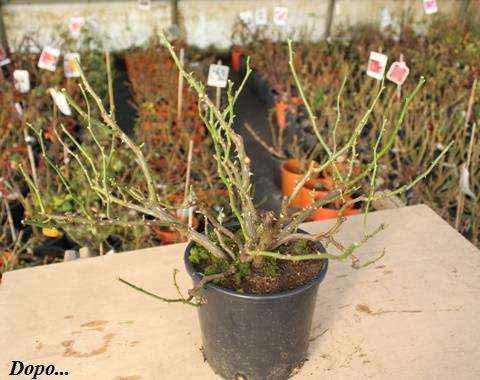 pianta-potata