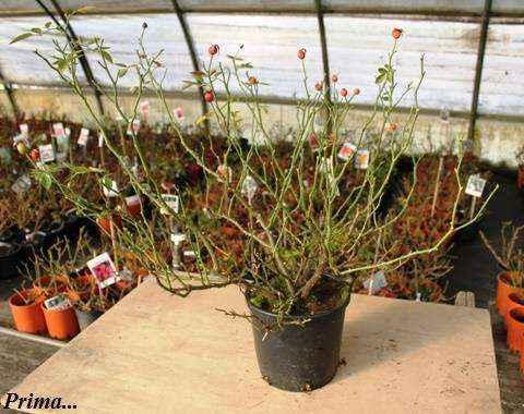 pianta-prima-della-potatura-7
