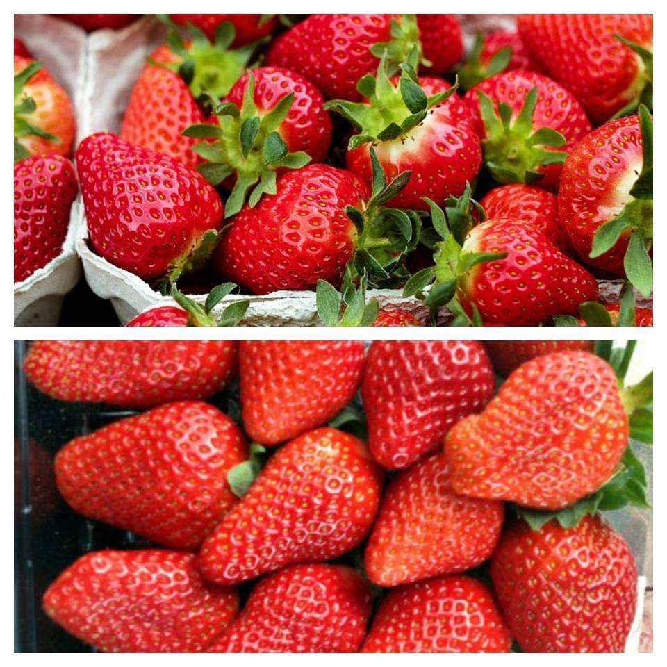 Confezione da 6 fragole a frutto grande vivai veimaro for Fragole piante vendita