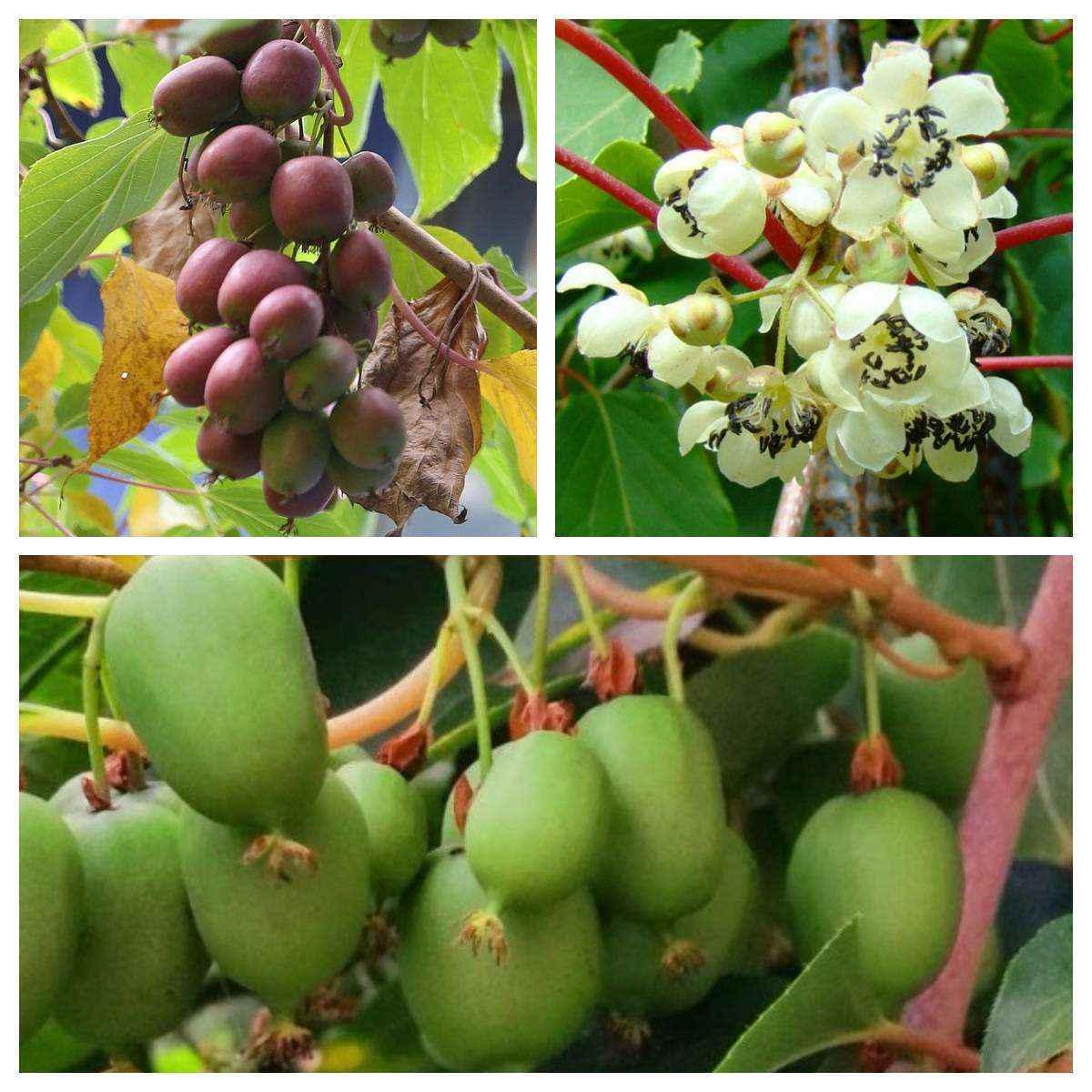 Confezione da 3 kiwi arguta in variet vivai veimaro for Pianta kiwi prezzo