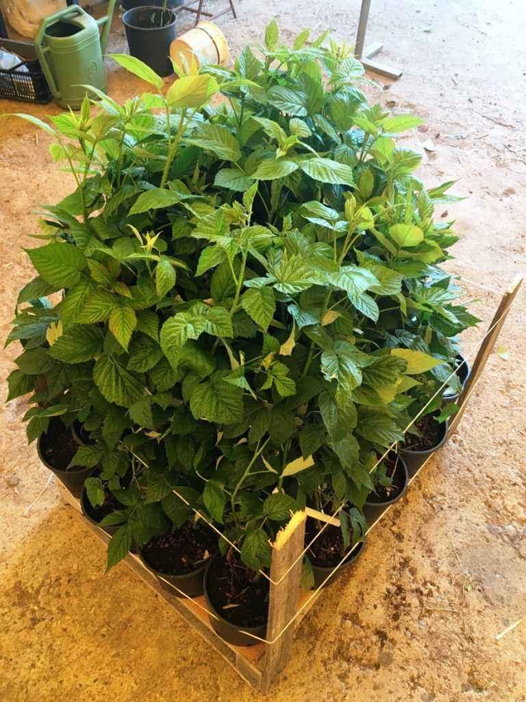 Imballaggio delle piante vivai veimaro vivaio for Vendita piante di lamponi