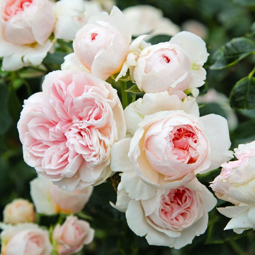 Piante Di Rose Rampicanti rosa rampicante sabrina®-meiptorius