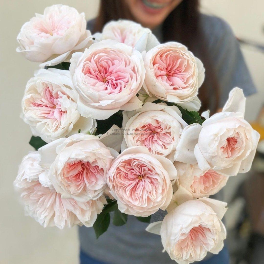 Rosa Rampicante In Vaso rosa rampicante sabrina®-meiptorius